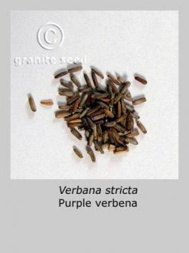 verbena  stricta  product gallery #1