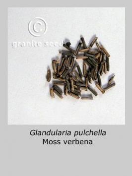 glandularia pulchella product gallery #1