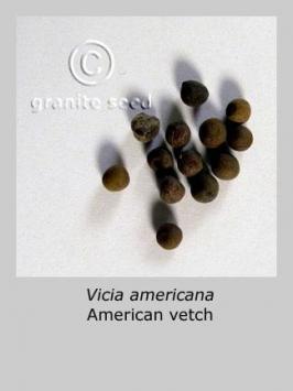 vicia  americana  product gallery #2