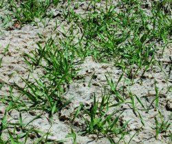Sterile Cover Crops